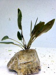 Cryptocoryne beckettii (2 plants)