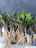 Cryptocoryne walkeri (2 plants)