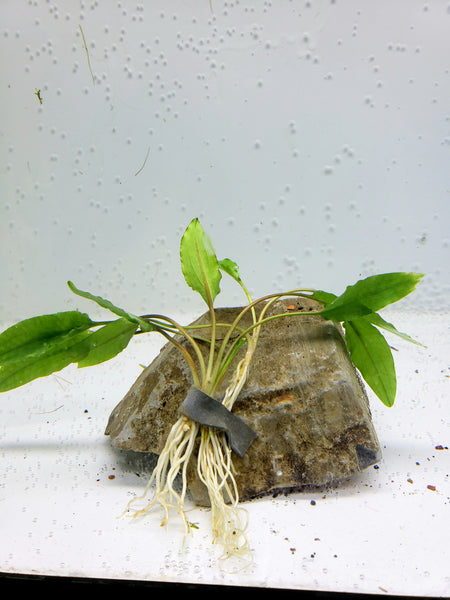 Cryptocoryne Wendtii green (3 plants )