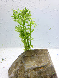 Rotala rotundifolia 'Green'- 5 stems