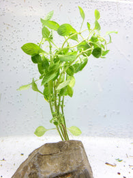 Ludwigia palustris 'Green'- 5 stems