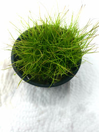 Eleocharis 'mini' (potted)