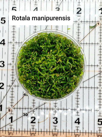 Rotala manipurensis T/C CUP