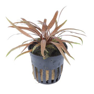 TROPICA- Cryptocoryne albida 'Brown'-Tropica Pots-The PlantGuy