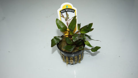 Cryptocoryne wendtii  'red' (potted) - theplantguy