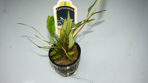 Cryptocoryne walkeri var 'lutea' (potted) - theplantguy