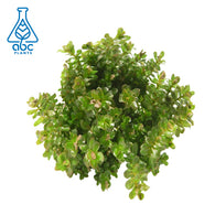ABC Plants-Rotala Rotundifolia