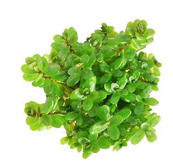 ABC Plants-Rotala robustus 'mini' aka. Dwarf Indian Toothcup - theplantguy