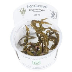 Tropica 1-2-GROW - Cryptocoryne crispatula-1-2 Grow-The PlantGuy