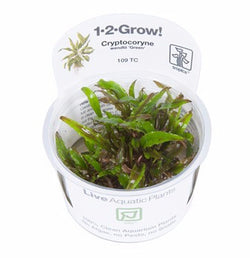 Tropica 1-2 Grow- Cryptocoryne wendtii 'Green'-1-2 Grow-The PlantGuy