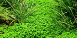 Tropica 1-2-GROW -Hemianthus callitrichoides 'Cuba'-1-2 Grow-The PlantGuy