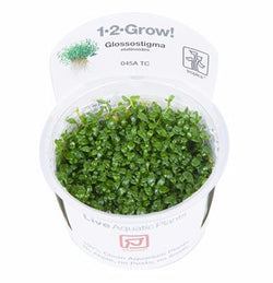Tropica 1-2-GROW -Glossostigma elatinoides-1-2 Grow-The PlantGuy