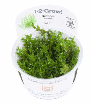Tropica 1-2-GROW - Gratiola viscidula-1-2 Grow-The PlantGuy