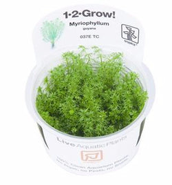 Tropica 1-2-GROW -Myriophyllum 'Guyana'-1-2 Grow-The PlantGuy