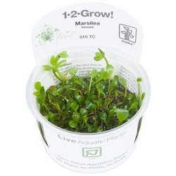Tropica 1-2-GROW -Marsilea hirsuta-1-2 Grow-The PlantGuy