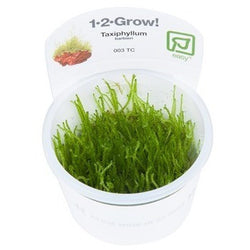 Tropica 1-2-GROW- Taxiphyllum barbieri (Java moss)-1-2 Grow-The PlantGuy