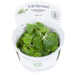 Tropica 1-2-GROW - Limnobium laevigatum-1-2 Grow-The PlantGuy