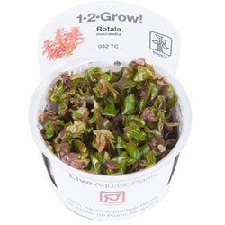 Tropica 1-2-GROW-Rotala macrandra 'japan'-1-2 Grow-The PlantGuy