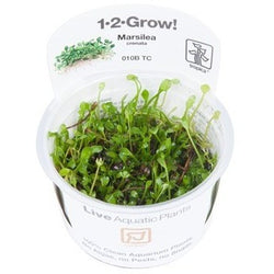Tropica 1-2-GROW -Marsilea crenata-1-2 Grow-The PlantGuy