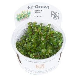 Tropica 1-2-GROW-Rotala 'Bonsai'-1-2 Grow-The PlantGuy