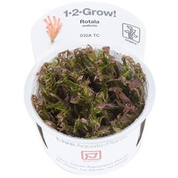 Tropica 1-2-GROW -Rotala wallichii-1-2 Grow-The PlantGuy