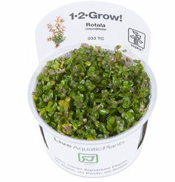 Tropica 1-2-GROW -Rotala rotundifolia-1-2 Grow-The PlantGuy