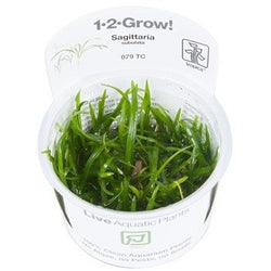 Tropica 1-2-GROW-Sagittaria subulata-1-2 Grow-The PlantGuy