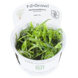 Tropica 1-2-GROW-Heteranthera zosterifolia-1-2 Grow-The PlantGuy