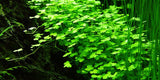 Tropica 1-2-GROW - Hydrocotyle tripartita-1-2 Grow-The PlantGuy