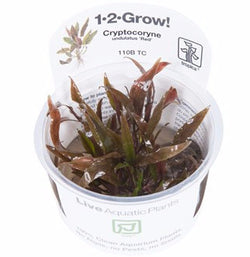 Tropica 1-2-GROW - Cryptocoryne undulatus 'Red'-1-2 Grow-The PlantGuy