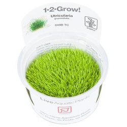 Tropica 1-2-GROW -Utricularia graminifolia-1-2 Grow-The PlantGuy