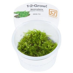 Tropica 1-2-GROW- Vesicularia dubyana 'Christmas'-1-2 Grow-The PlantGuy