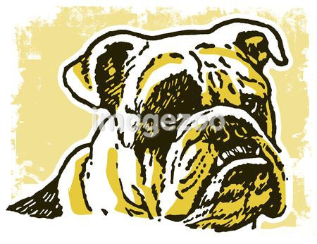 An unhappy looking Bulldog
