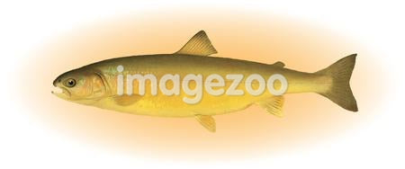 A trout on a white background