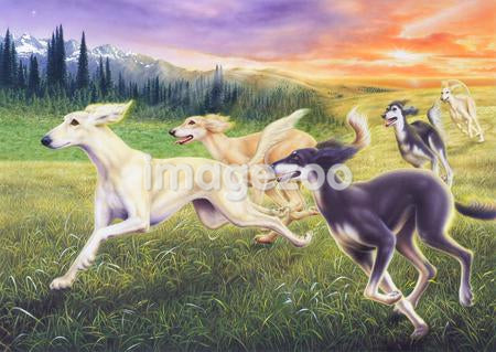 Saluki hounds running through a field