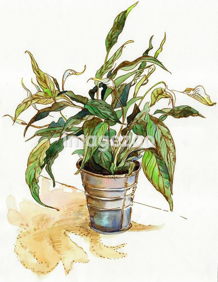 A watercolor painting of spathiphyllum