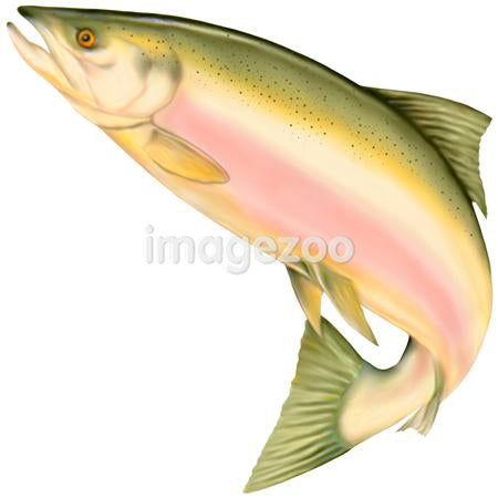 A picture of a salmon