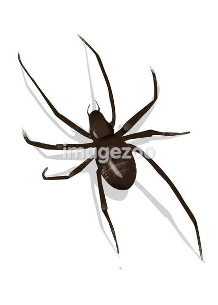 Domestic house spider, Tegenaria domestica
