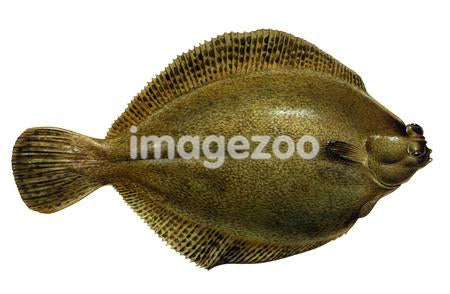 A Sole fish