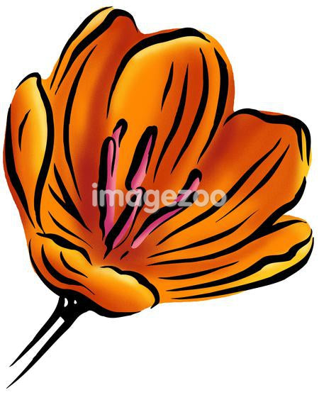 An orange tulip