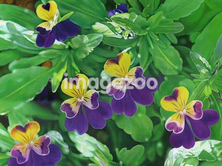 Purple and yellow flowers with heart shaped petals