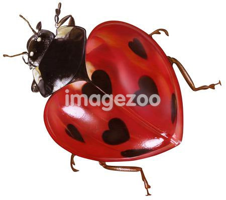 Heart shaped ladybird against white background