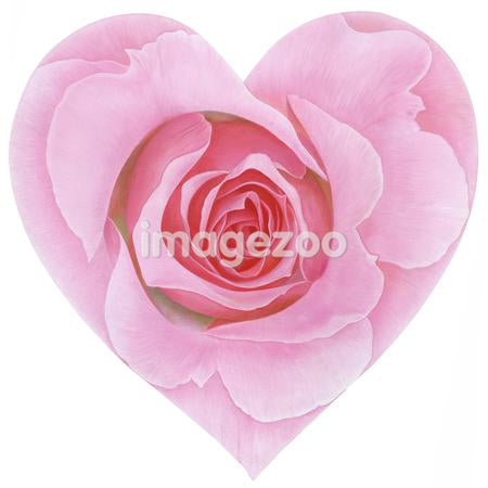 Heart shaped pink rose against white background