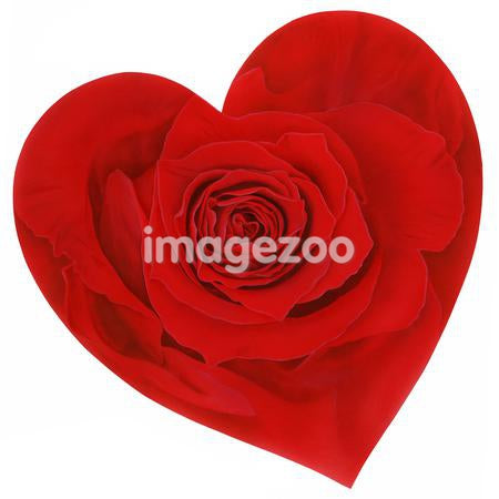 Heart shaped red rose against white background