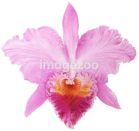 Heart shaped pink flower against white background