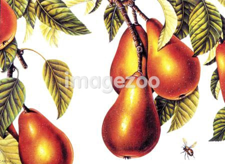 Illustration of pears on the vine