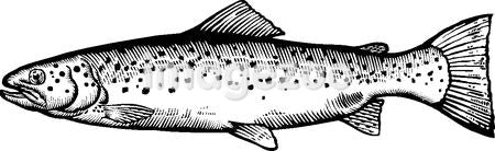 A black and white drawing of a sea trout