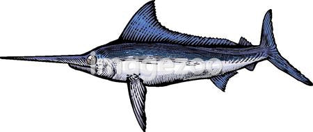 A drawing of a marlin