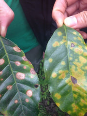 "Coffee leaf rust, ""la roya"""