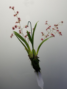 Oncidium Twinkle 'Western' (Flowering)
